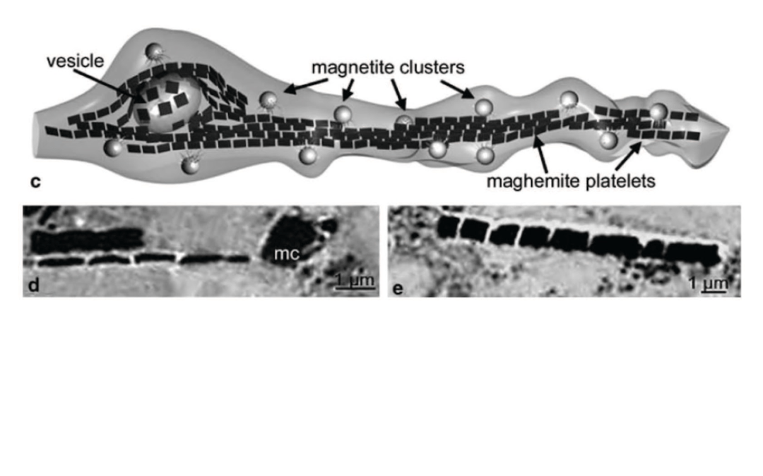 Mapping magnetite in the human brain